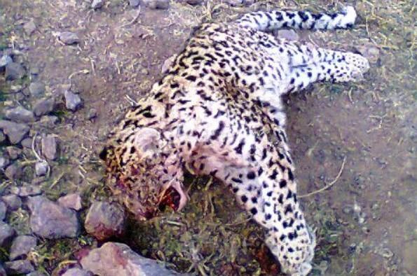 460308 615 کشتار بی رحمانه نهمین پلنگ ایرانی / عکس