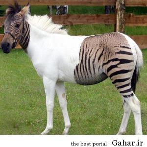 1 03 جالب ترین حیوانات دورگه