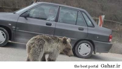 1 270455 370 سرگردانی توله خرس در جاده گلستان +عکس