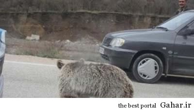 270456 992 سرگردانی توله خرس در جاده گلستان +عکس
