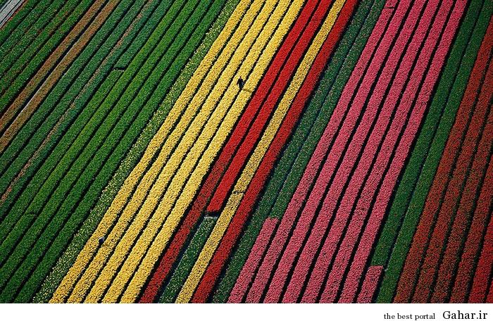flower tulip 12 عکس های زیبا از مزارع گل هلند