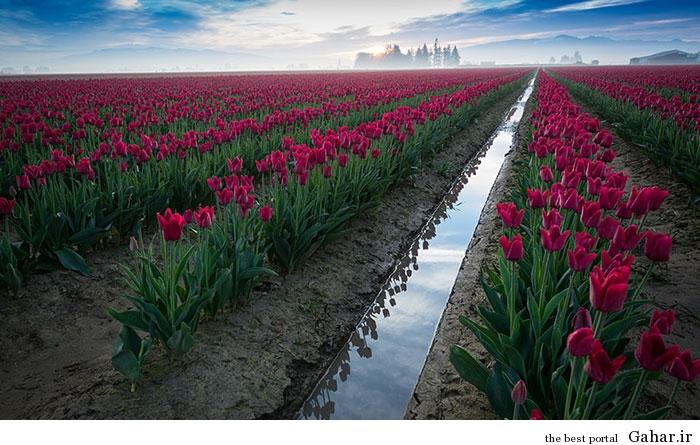 flower tulip 3 عکس های زیبا از مزارع گل هلند