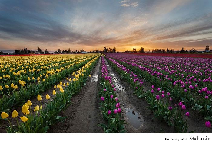 flower tulip 4 عکس های زیبا از مزارع گل هلند