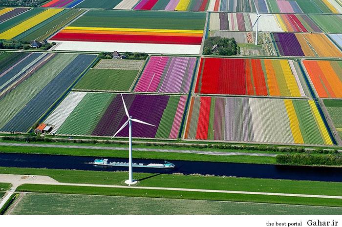flower tulip 9 عکس های زیبا از مزارع گل هلند