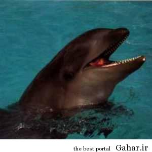 wholphin جالب ترین حیوانات دورگه