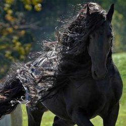 عکس های زیباترین اسب جهان