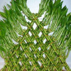 آموزش نگهداری از گیاه بامبو ؛ گیاه خوش شانسی