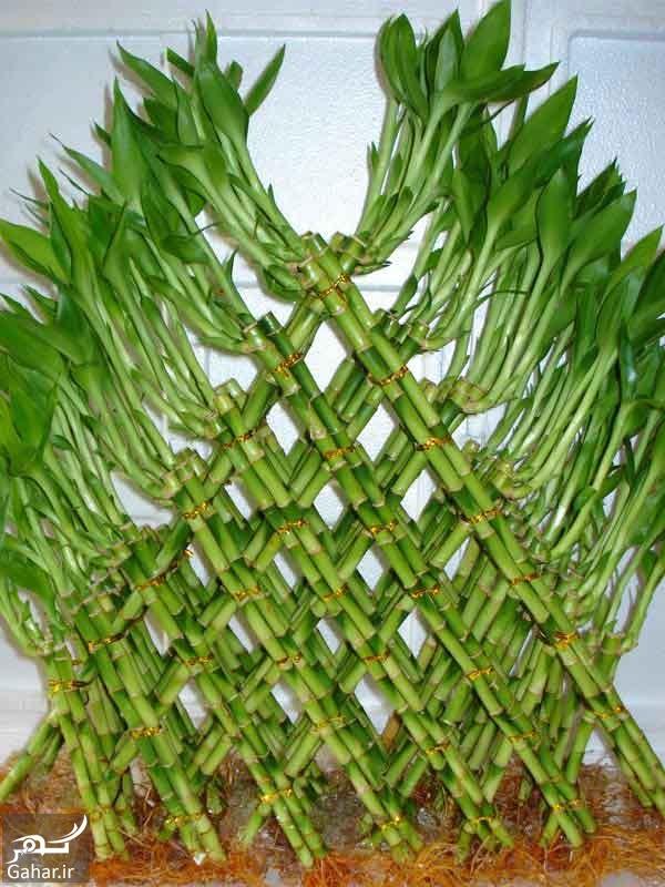 Lucky Bamboo 6 آموزش نگهداری از گیاه بامبو ؛ گیاه خوش شانسی