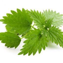nettle-herb