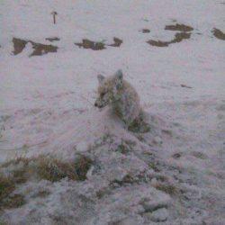 عکس روباه یخ زده در چالدران آذربایجان غربی