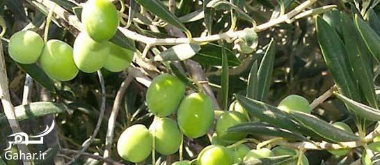 برگ درخت زیتون خواص عصاره برگ درخت زیتون