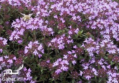 ziziphora cliniopodiodes2 e8 خواص جالب گیاه کاکوتی
