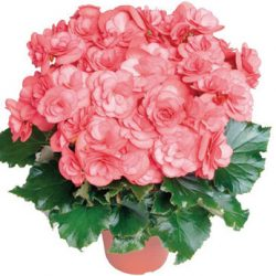 راهنمای مراقبت از گل بگونیا هلندی