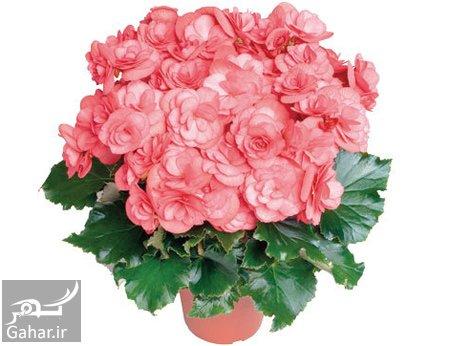 dutch2 begonia flower1 راهنمای مراقبت از گل بگونیا هلندی