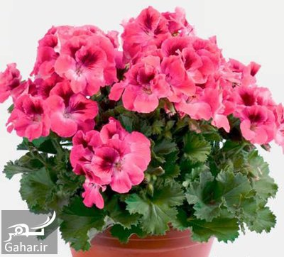 maintenance2 geranium2 آموزش روش نگهداری از گل شمعدانی