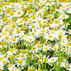 با گل بابونه زیبا تر شوید