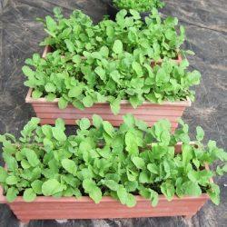آموزش کاشت سبزی در خانه به روش ساده