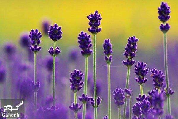 Lavender خواص اسطوخدوس ؛ از آرام بخشی تا درمان بیماریها