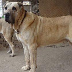 آشنایی با نژاد سگ سرابی