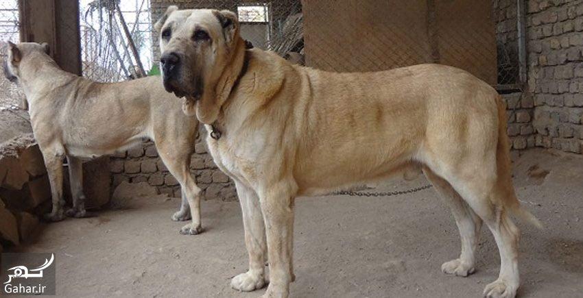 mataleb www.gahar .ir 02.07.97 2 آشنایی با نژاد سگ سرابی