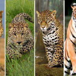 تفاوت پلنگ و یوزپلنگ و جگوار