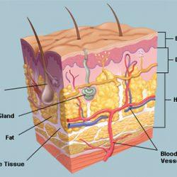 لایه های پوست انسان را بشناسید