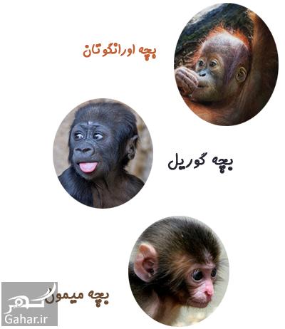 mataleb www.gahar .ir 22.10.97 3 میمون و شامپانزه و گوریل چه تفاوت هایی با هم دارند؟