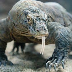 آشنایی با اژدهای کومودو ؛ دایناسور زنده