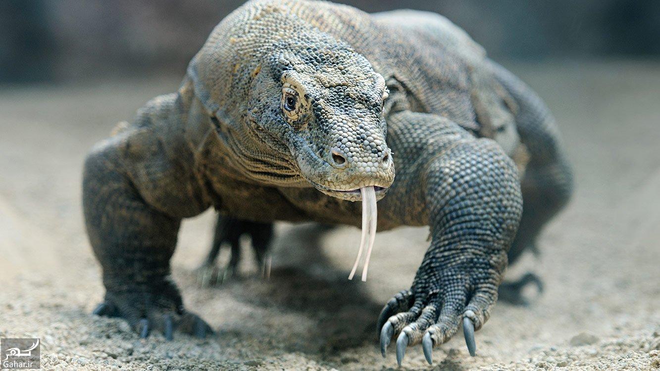 آشنایی با اژدهای کومودو ؛ دایناسور زنده, جدید 1400 -گهر
