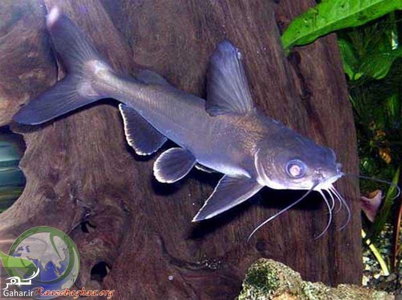 www.gahar .ir mataleb 26.01.98 6 سبک زندگی گربه ماهی کوسه ای