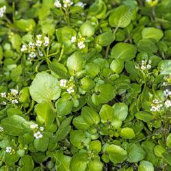 گیاه یوغورت اوتی چیست و چه استفاده ای دارد؟