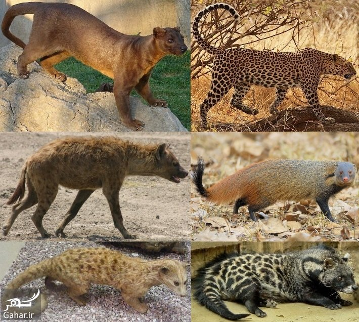 انواع گربه سانان و سبک زندگی آن ها, جدید 1400 -گهر