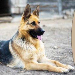 مشخصات سگ ژرمن