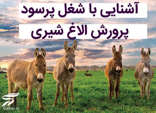 olagh shiri پرورش الاغ شیری شغل پرسود این روزها!