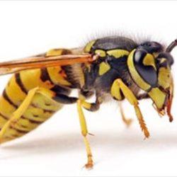 درمان خانگی نیش زنبورهای زرد