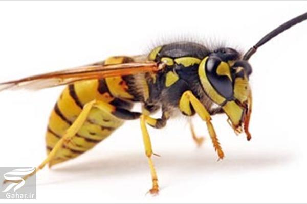 zanborezard درمان خانگی نیش زنبورهای زرد
