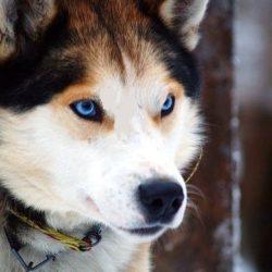 معرفی کامل سگ هاسکی