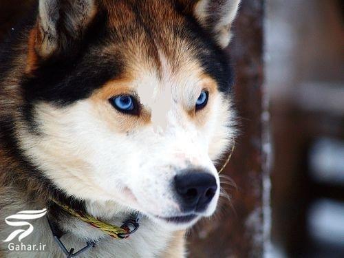 haski1 معرفی کامل سگ هاسکی