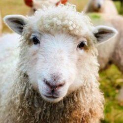 چگونگی پرورش گوسفند زنده