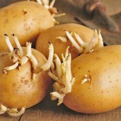 خطرات سیب زمینی جوانه زده
